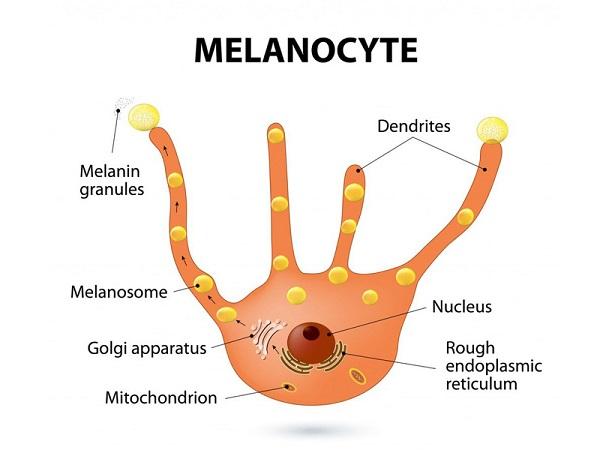 hắc sắc tố - melanin